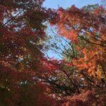 茅山荘の紅葉 門の横のモミジ