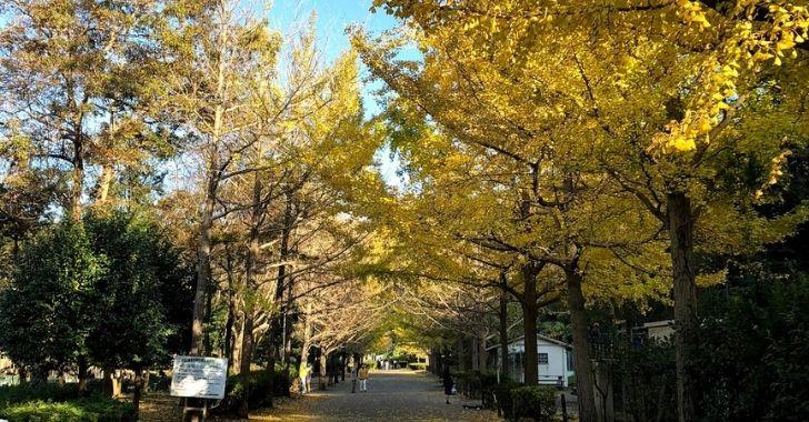 南郷上之山公園の銀杏